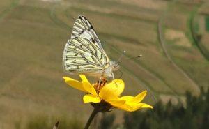 Pisac Butterfly Peru