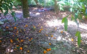 Porongo Tangarines, Morgante Nature and Food