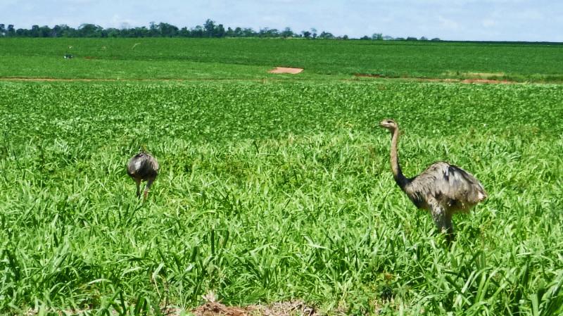 Mennonite Ostriches