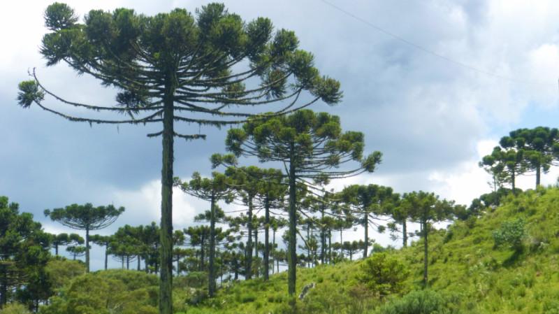 Araucária Trees